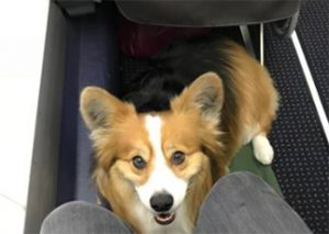 flying with service dog
